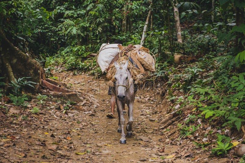 Bärande gods för packehäst i djungel-/skoglandskap royaltyfri bild