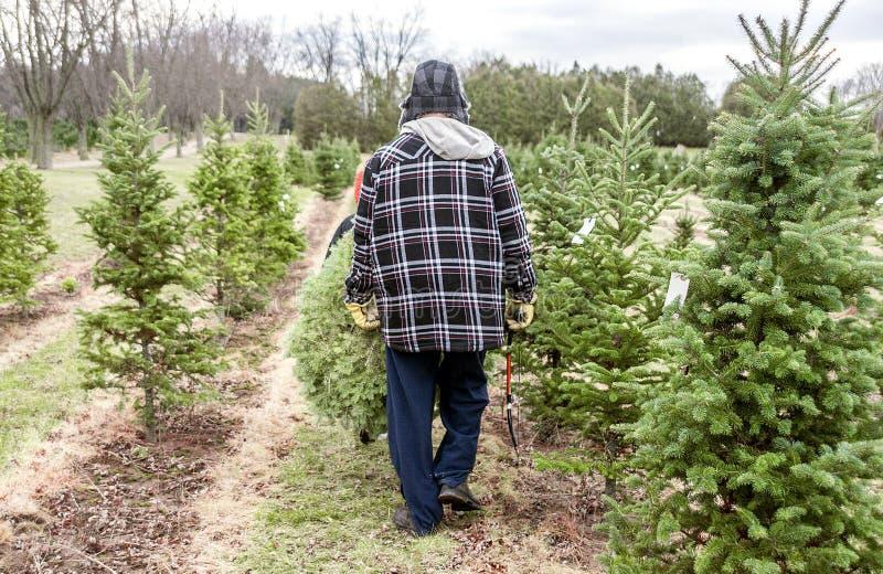 Bärande julgran för fader och för son, når att ha klippt den ner på royaltyfri bild