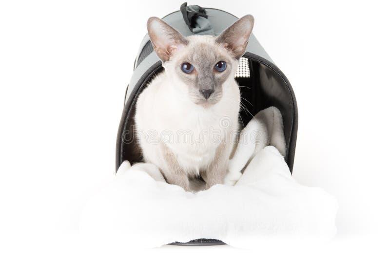 Bärande påse för orientalisk Shorthair katt på vit royaltyfri foto