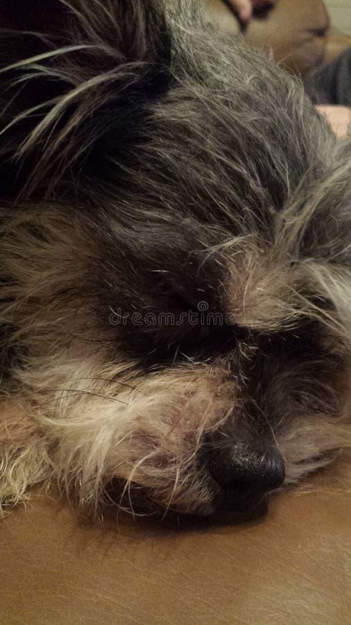 Bärare Terrier royaltyfri fotografi