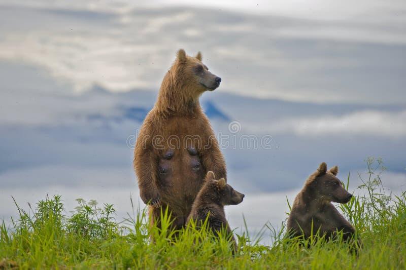bären stockfotografie
