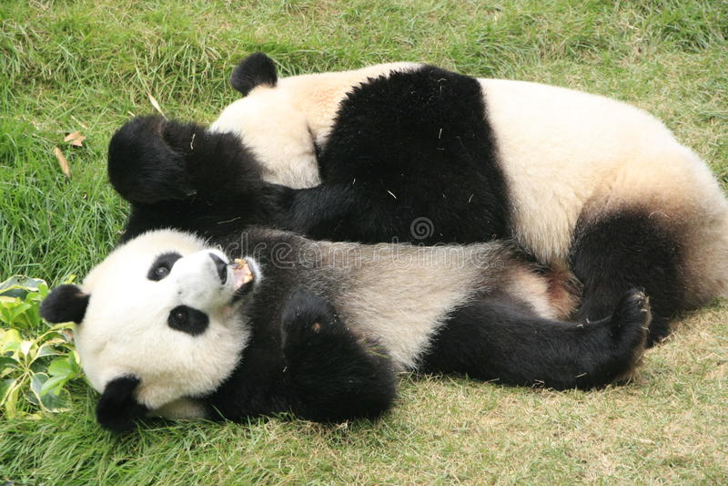 Bären des riesigen Pandas (Ailuropoda Melanoleuca), China stockfoto
