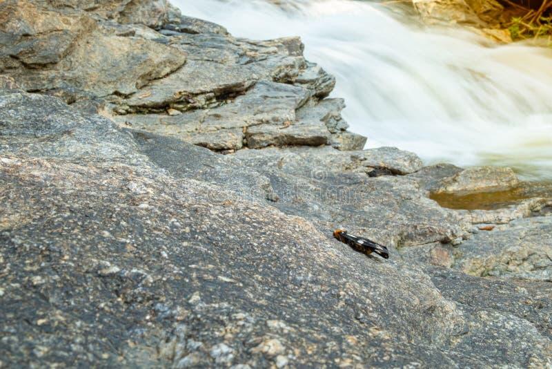 Bärenspinnerstock auf dem nahe gelegenen Wasserfall des Felsens lizenzfreies stockbild