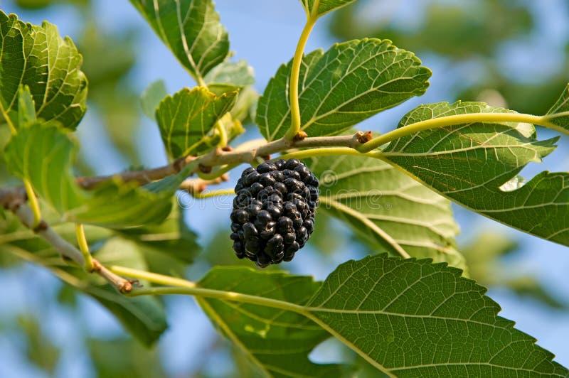 bärmullbärsträd fotografering för bildbyråer
