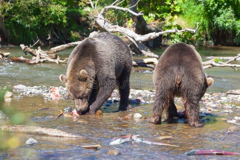 Bärngraubär Ursus arctos Fischerei Zwei Bären, die Lachse im Fluss essen lizenzfreie stockfotos