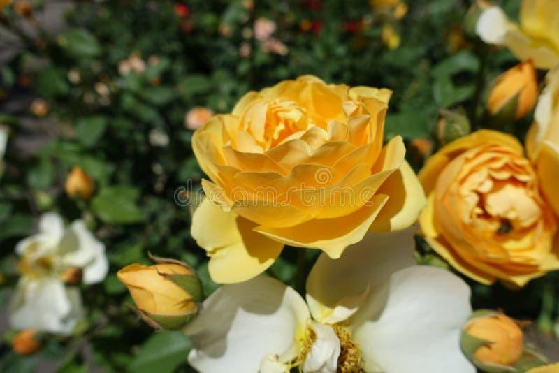 Bärnstensfärgad gul blomma av rosen royaltyfri bild
