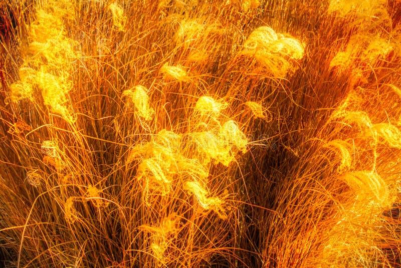 Bärnstensfärgade vågor av korn- eller såggräs som glöder i solen arkivbild