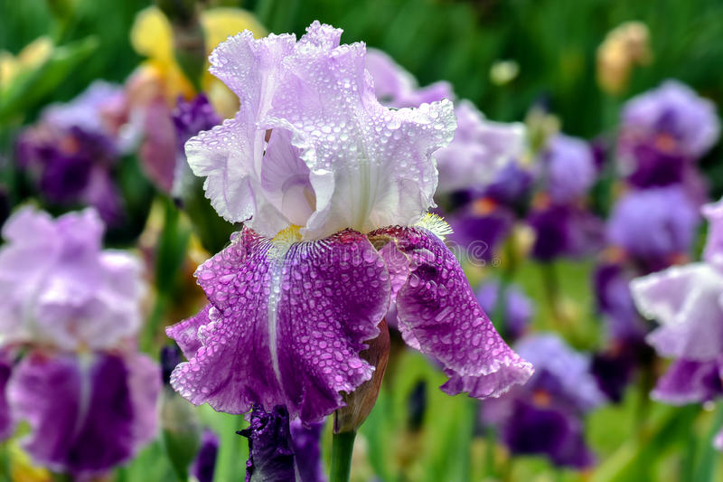 Bärtige Iris Flip Flower lizenzfreie stockbilder