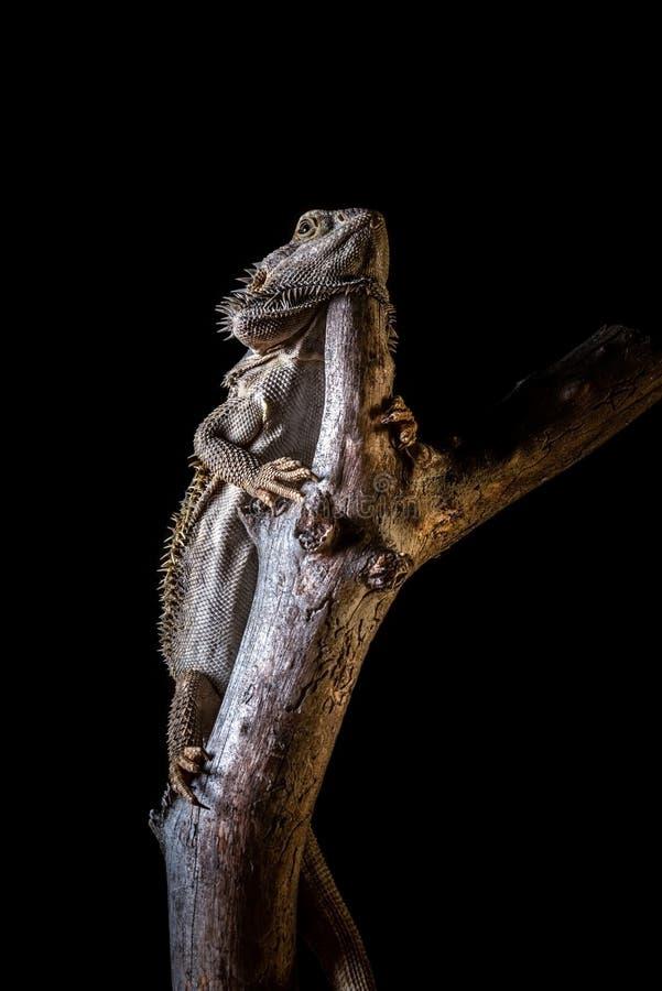 Bärtiger Drache auf Stück trockenem Holz auf schwarzem Hintergrund stockfotografie