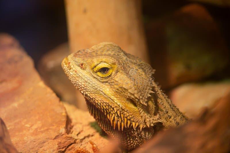 Bärtiges Dragon Close Up Face lizenzfreie stockbilder