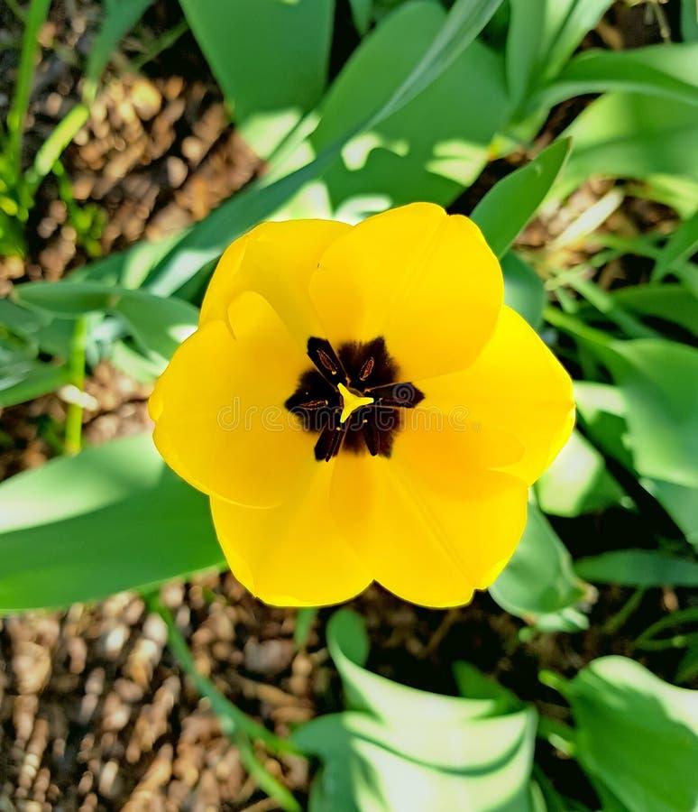 Bästa sikt av den gula tulpan N?tt blomning p? en solig dag i tr?dg?rden royaltyfria foton