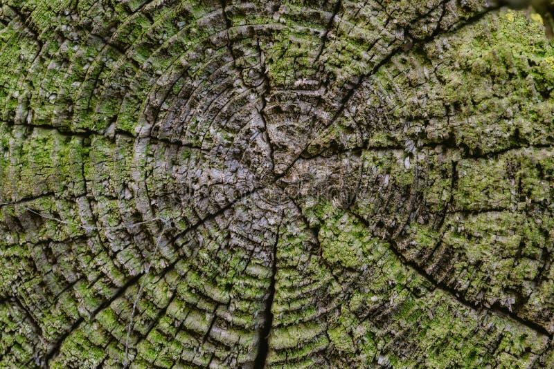 Bästa sikt av det gamla träsnittet till de årliga cirklarna och sprickorna arkivbild