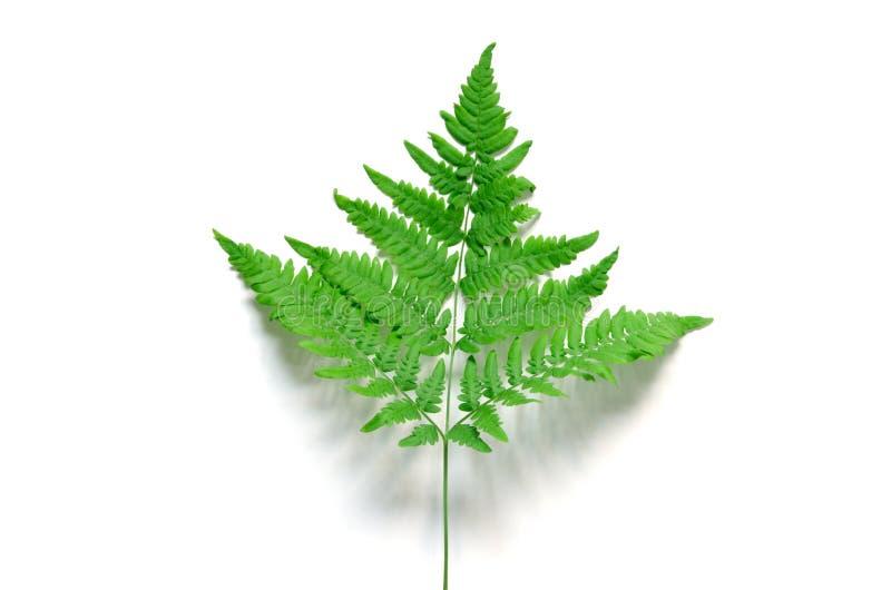 Bästa sikt av det gröna tropiska ormbunkebladet på vit bakgrund Lekmanna- l?genhet Minsta sommarbegrepp royaltyfri foto