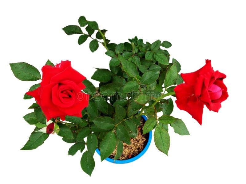 Bästa sikt av det rosa trädet med röda blommor för blomning arkivfoton