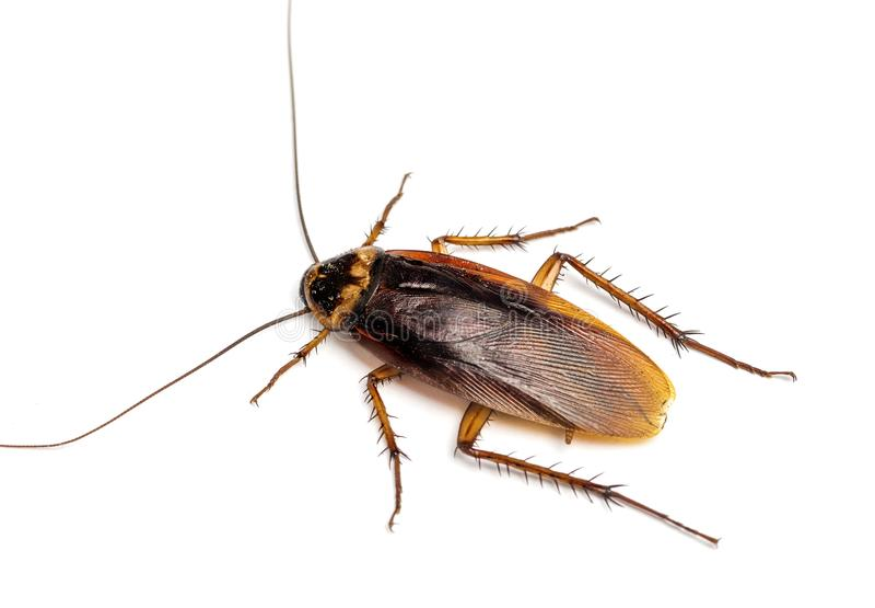 Bästa sikt av en död kackerlacka som isoleras på vit bakgrund arkivbilder
