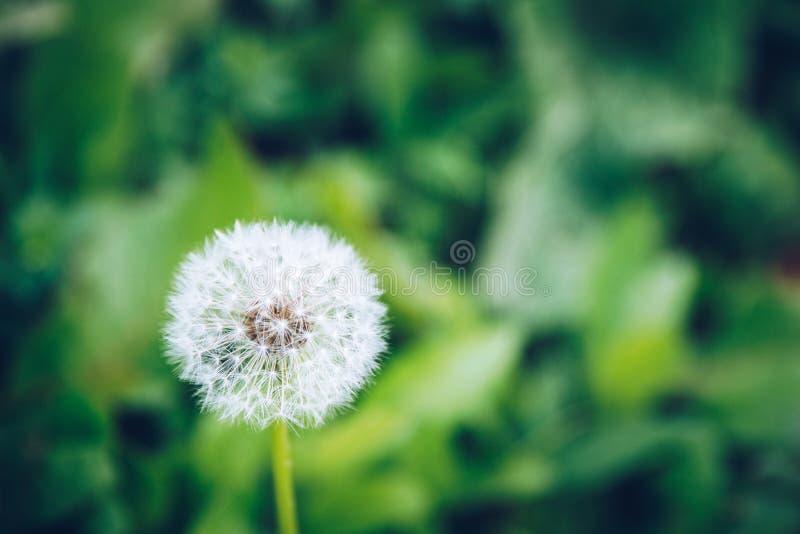 Bästa sikt av en Taraxacumofficinale för gemensam maskros, en blomning fotografering för bildbyråer
