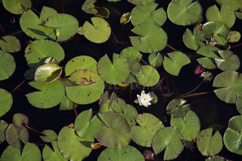 Bästa sikt av ett enkelt vitt waterlily bland gröna liljablock i svart vatten arkivbild