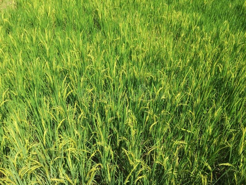 Bästa sikt av gul risfält i grön risfält royaltyfri bild