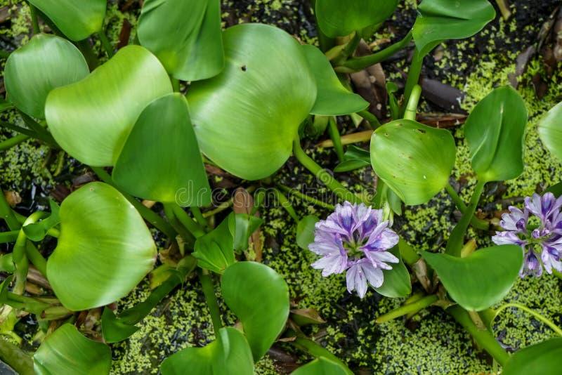 Bästa sikt av härligt ljus - den violetta färgvattenhyacinten som över blommar - vattenyttersida med glansiga nya gräsplansidor fotografering för bildbyråer