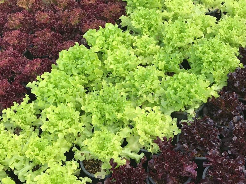 Bästa sikt av ny organisk gräsplan och den röda grönsallatkolonin i po royaltyfri bild