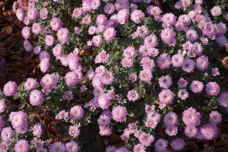 Bästa sikt av rosa blommor av krysantemumet royaltyfri fotografi