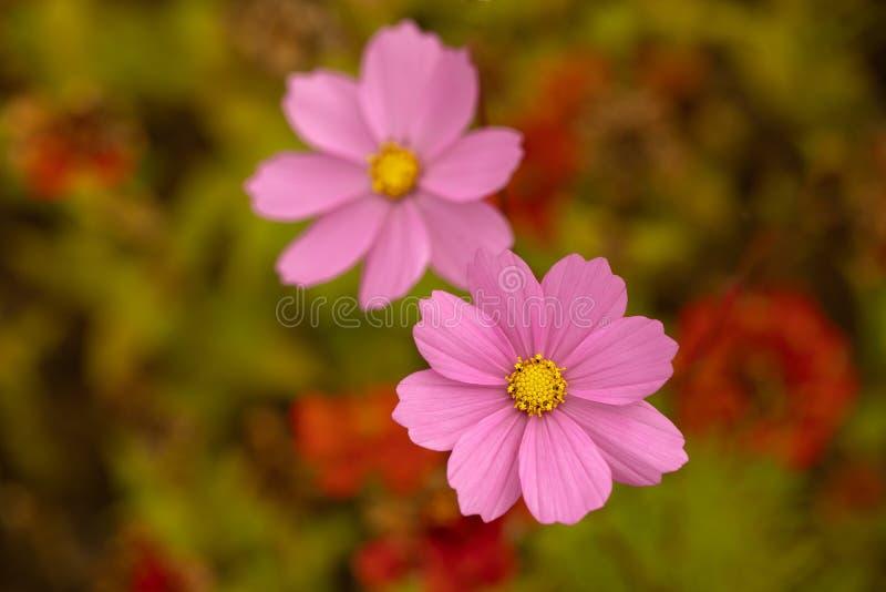 Bästa sikt av två rosa kosmosblommor i fältet royaltyfri foto