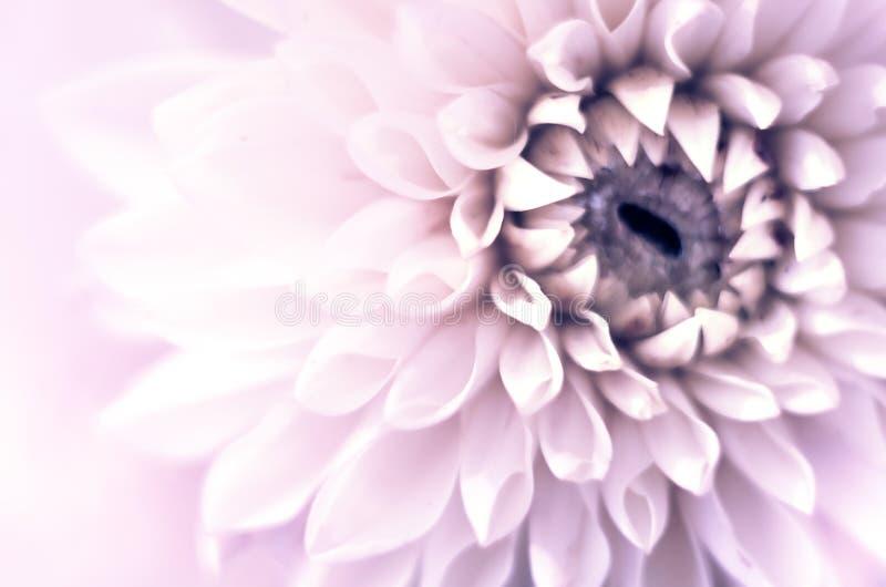 Bästa sikt för Closeup av den härliga violetta dahliablomman med den mjuka fokusen Begrepp f?r h?lsningkort royaltyfri fotografi