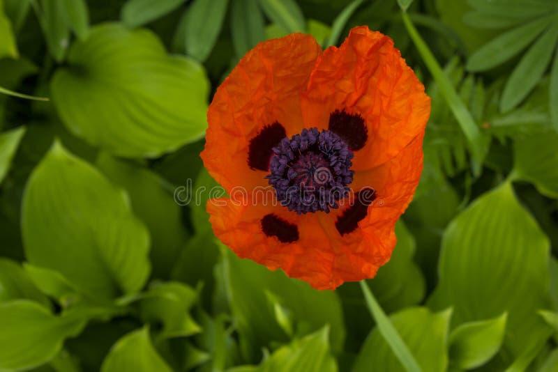 Bästa sikt för enkel vallmo för blomma röd royaltyfri foto