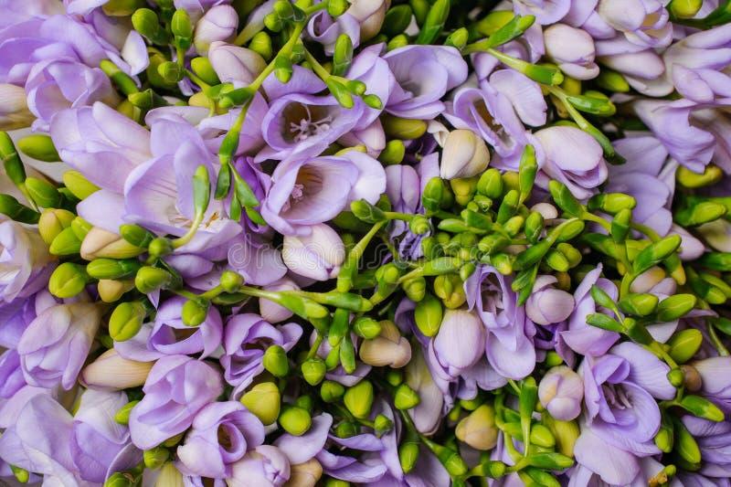 Bästa sikt för purpurfärgad freesiablommabakgrund arkivfoton