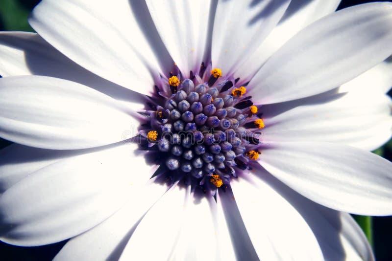 Bästa sikt för vit Daisy Flower Head närbild fotografering för bildbyråer