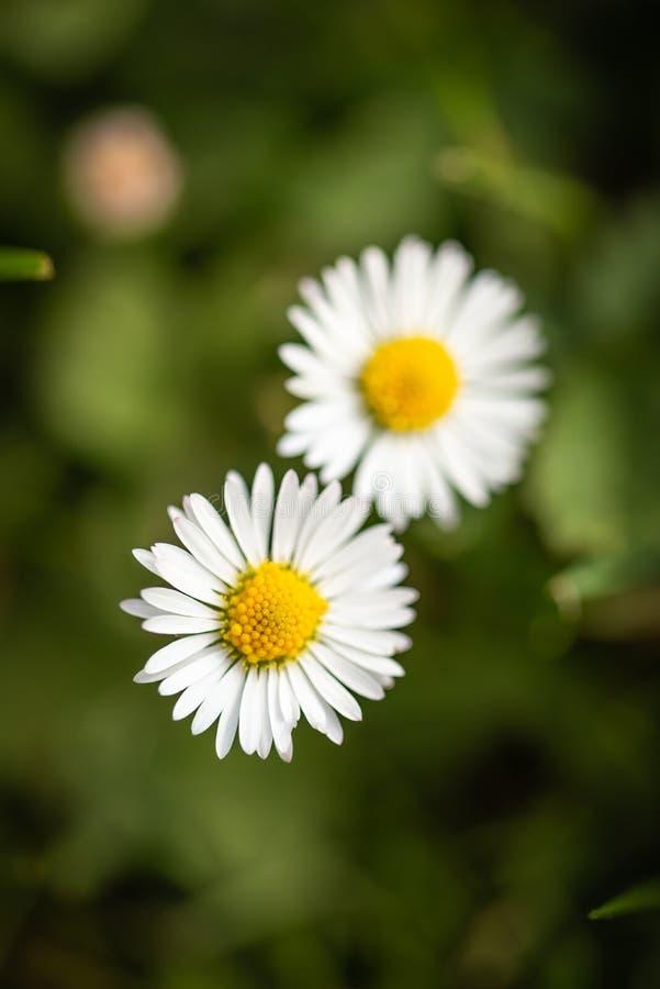 Bästa sikt på två tusenskönor som växer i en gräsmatta arkivbild