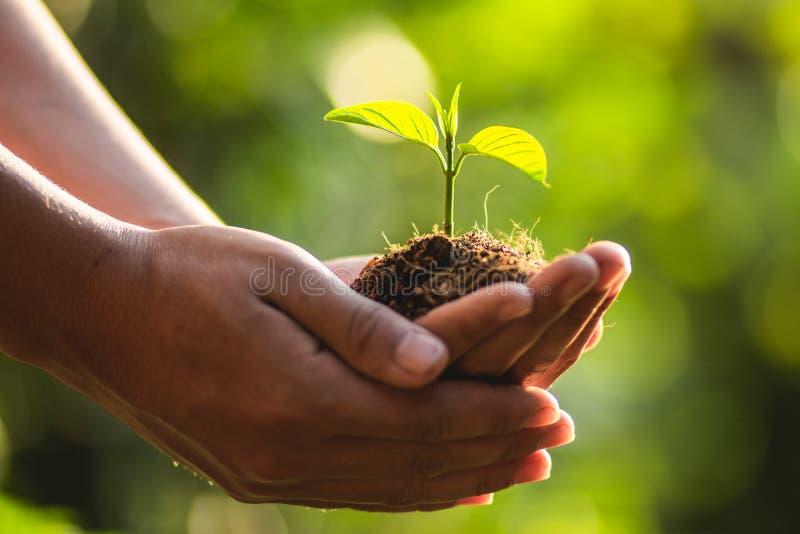 Bäume Baum-Sorgfaltabwehrwelt pflanzend, schützen die Hände die Sämlinge in der Art und im Licht des Abends stockbild