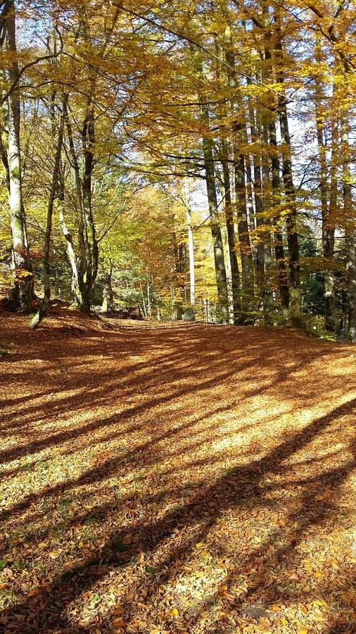 Bäume beschatten im goldenen Herbstwald lizenzfreie stockbilder