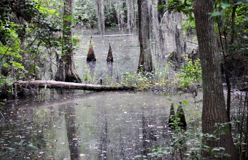 Bäume der kahlen Zypresse, erster Landungsnationalpark, Virginia Beach, VA lizenzfreies stockbild