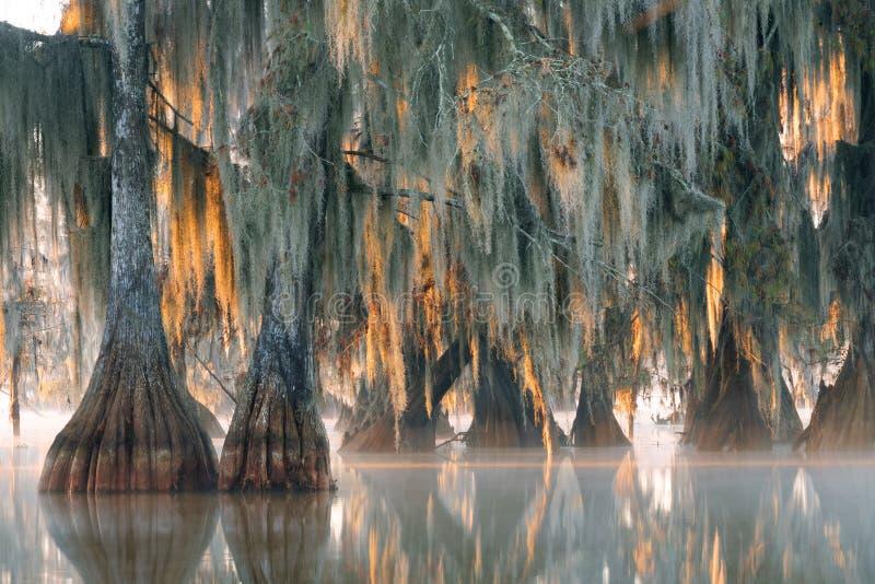 Bäume der kahlen Zypresse mit dem Hängen des spanischen Mooses im ersten Strahl stockfoto