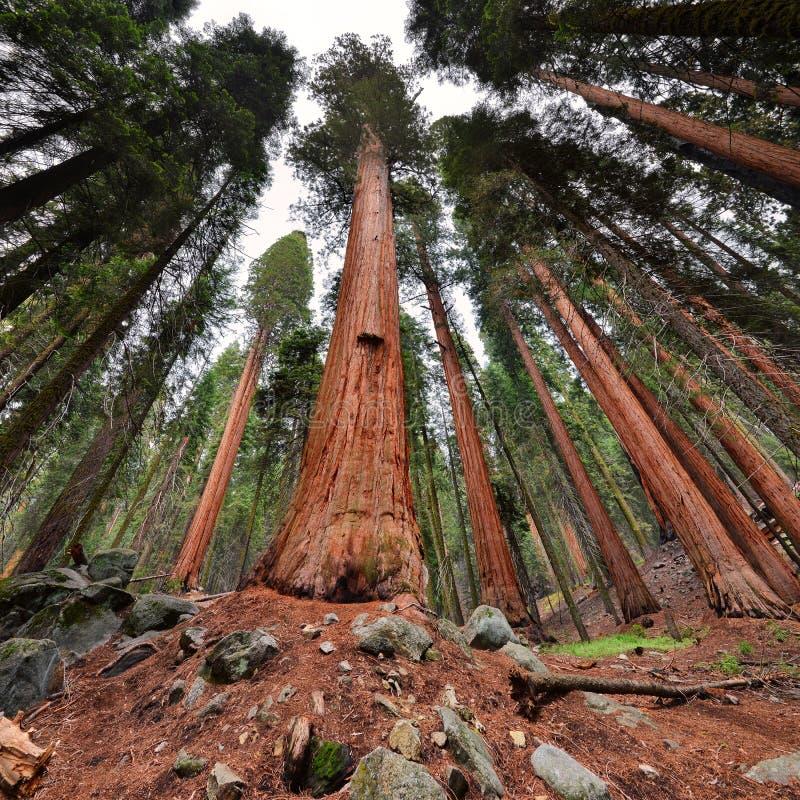 Bäume des riesigen Mammutbaums im Mammutbaum-Nationalpark, Kalifornien stockfoto