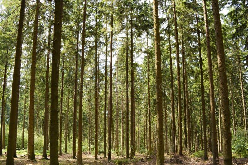 Bäume des Waldes bedecken Wegbaumstämme von Kiefern mit Gras lizenzfreies stockbild