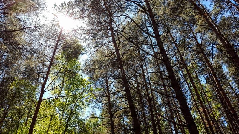 Bäume des Waldes Grüne hölzerne Sonnenlichthintergründe der Natur Tageslicht, Jahreszeit stockbild