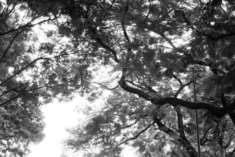 Bäume des Waldes hölzerne Schwarzweiss-Hintergründe der Natur lizenzfreie stockfotos
