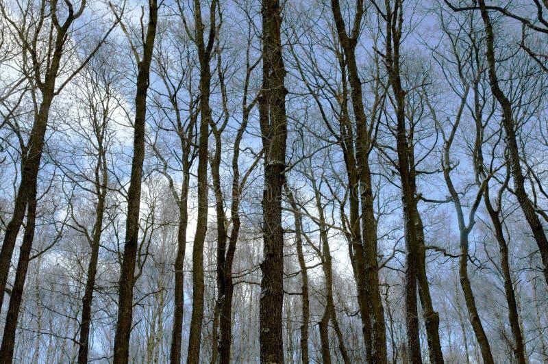 Bäume des Waldes ohne Blätter stockfoto
