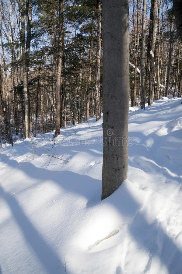 Bäume, die blueshadows im frischen Schnee werfen lizenzfreie stockbilder