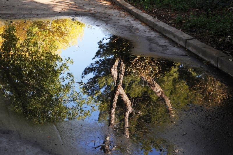 Bäume, die in der Pfütze des Wassers sich reflektieren stockfotos