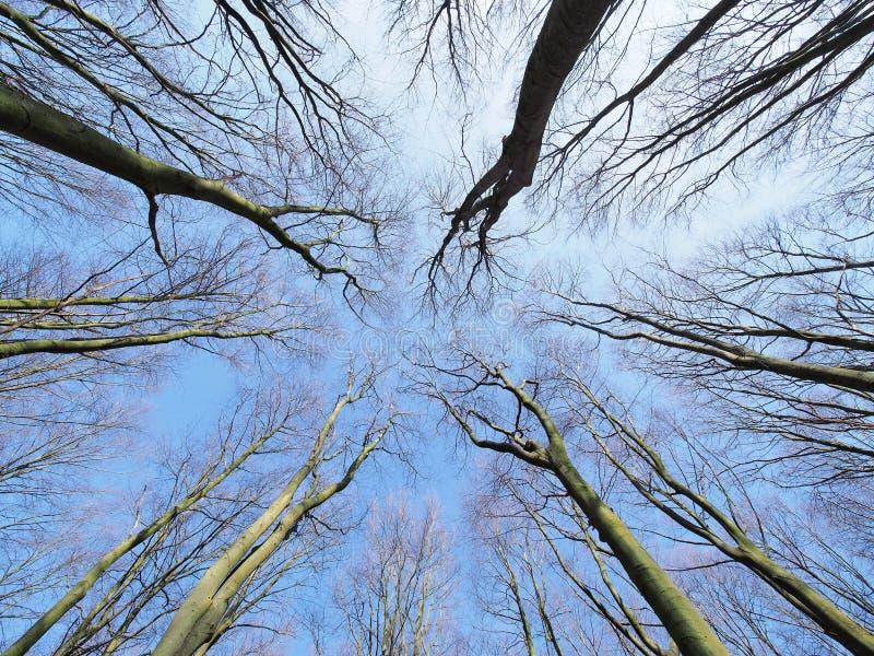 Bäume, die oben in den blauen Himmel erreichen stockfoto