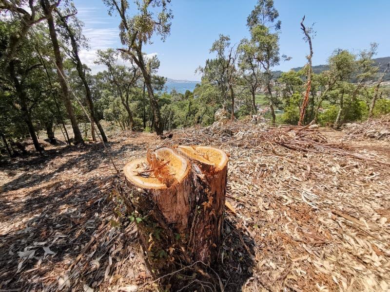 Bäume in einem Eukalyptuswald verringern, der Abholzung im Bereich verursacht stockfotografie