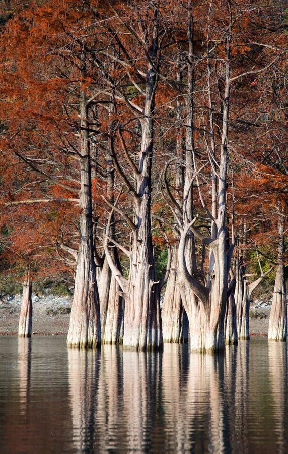 Bäume Groves Zypresse in Sukko-Fall stockbilder