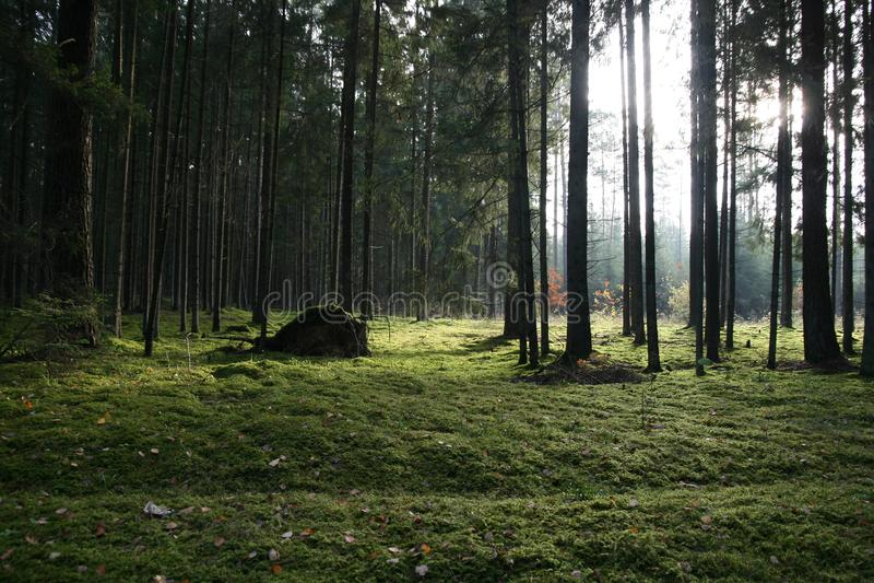 Bäume im grünen Wald stockbild