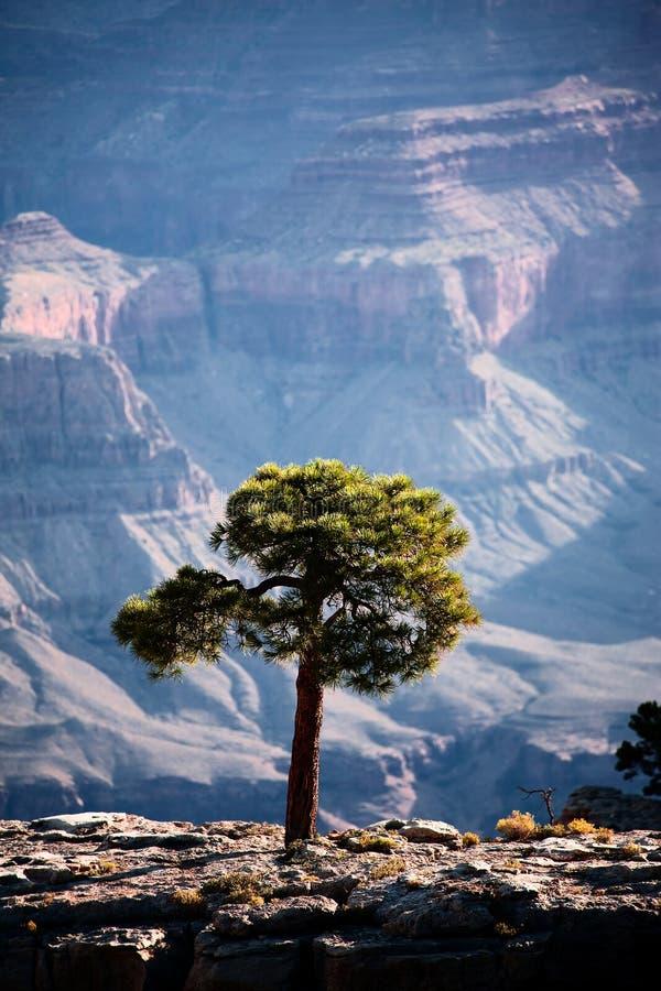 Bäume im Grand Canyon stockbild