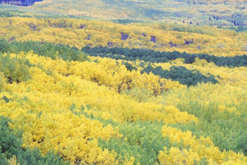 Bäume im Herbst, Gunnison-staatlicher Wald, Colorado lizenzfreie stockbilder
