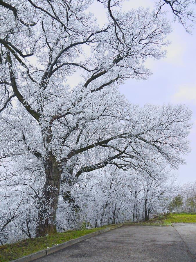 Bäume im Hoarfrost lizenzfreie stockfotos