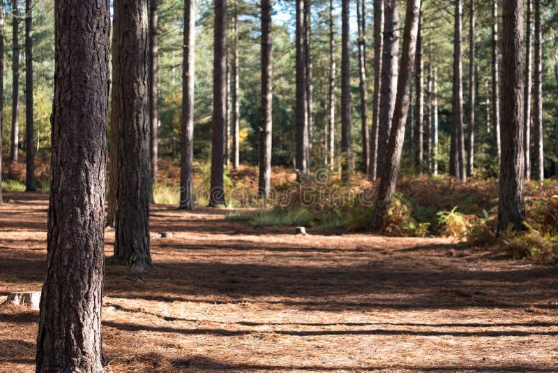 Bäume im Wald am Moors Tal-Nationalpark, Ringwood, Bournemouth Großbritannien lizenzfreies stockbild